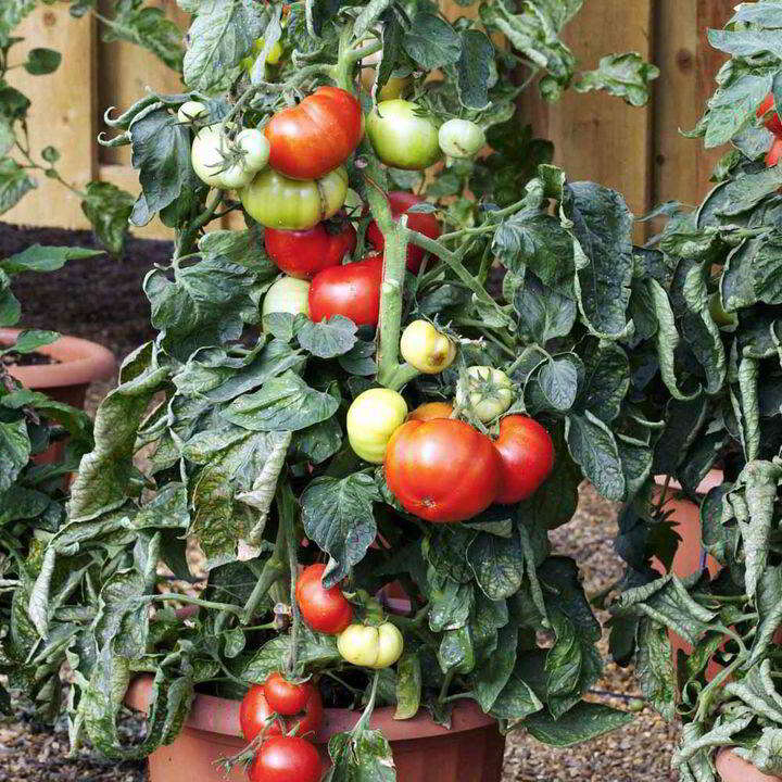 Tomatfrön - F1 Big League - Suttons Seeds-8482