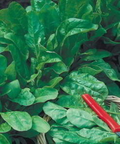 Spenat 'Seed Tape - Perpetual Spinach Leaf' - Suttons Seeds-0