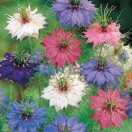Love-In-A-Mist Nigella Persian Jewels-8879