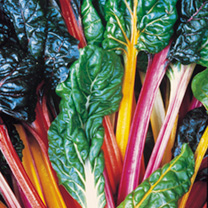 Mangold/ Beet (Leaf) ´Bright Lights´- Suttons Seeds